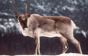 arctic caribou in snow